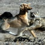 На волка с борзыми