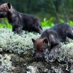Волчата черного волка (помесь с собакой)