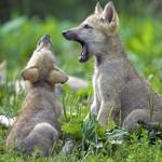 Волчата серого волка