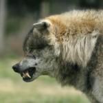 Разъяренный волк