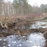 Бобровые плотины на каналах