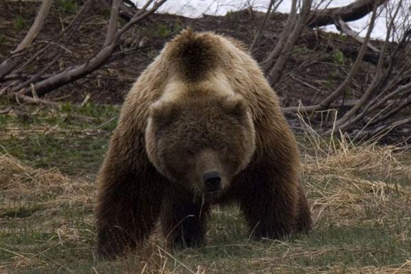 На Аляске добыли самого крупного в истории гризли они стали скрадывать