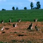 Кролики в Австралии