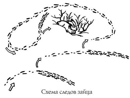 Схема следов зайца
