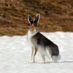 Заяц-русак зимой