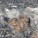 Зайчата в гнезде в лесу