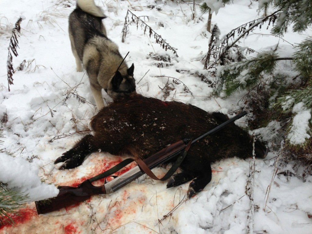 Убитый кабан, лайка и ружье