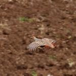 Полет куропатки