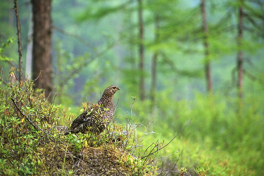 Рябчик в лесу