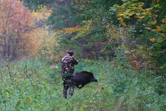 Охотник стреляет в кабана