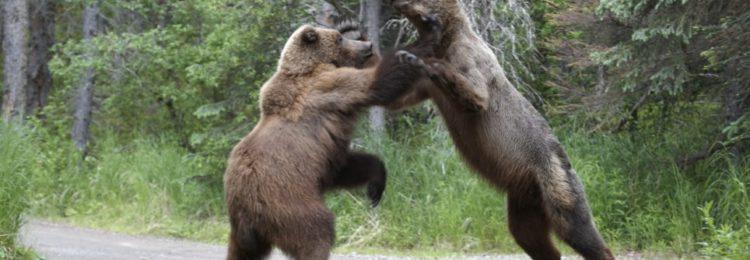 Охота на медведя на овсах