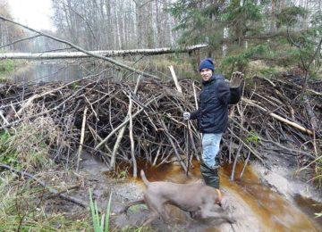 Бобровая охота в России  – виды, секреты, перспективы, обработка трофеев