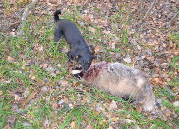 Охота с собаками на барсуков. 3 части —  смотреть видео онлайн