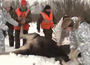 «Охота на Соболя с лайками по Чернотропу» — смотреть видео онлайн