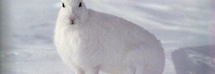 Охота на зайцев зимой троплением