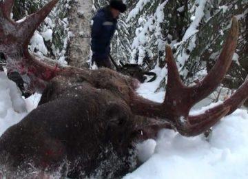 «Охота на лося с лайкой на севере России » — смотреть видео онлайн