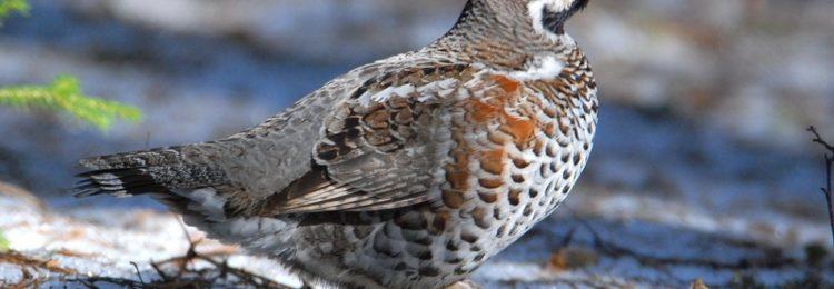 «Весенняя охота на рябчика с манком» смотреть видео онлайн