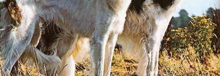Идет охота на волков… с борзыми