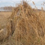 Скрадок в сухой траве