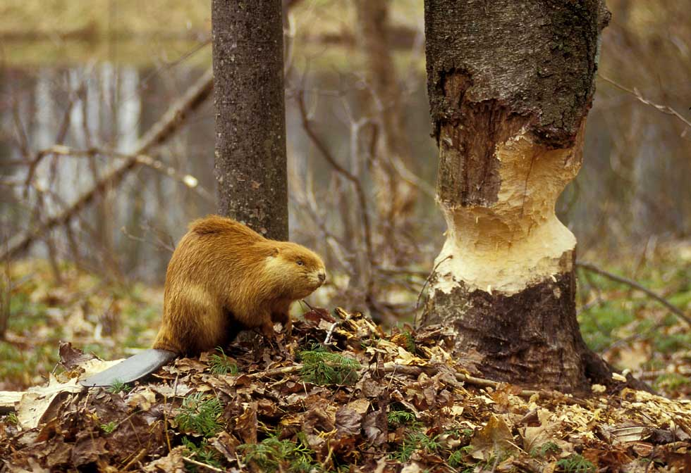 Бобр и погрызенное дерево