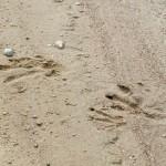 След бобра на песке