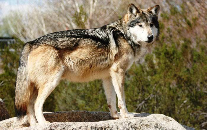 Кенайский волк