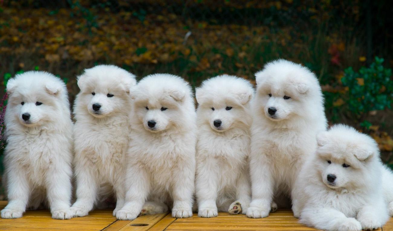 Семья сибирских самоедов