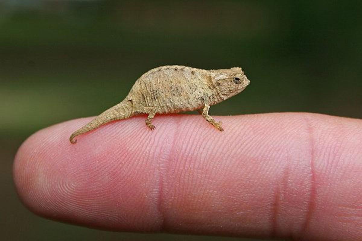 Хамелеон малая брукезия