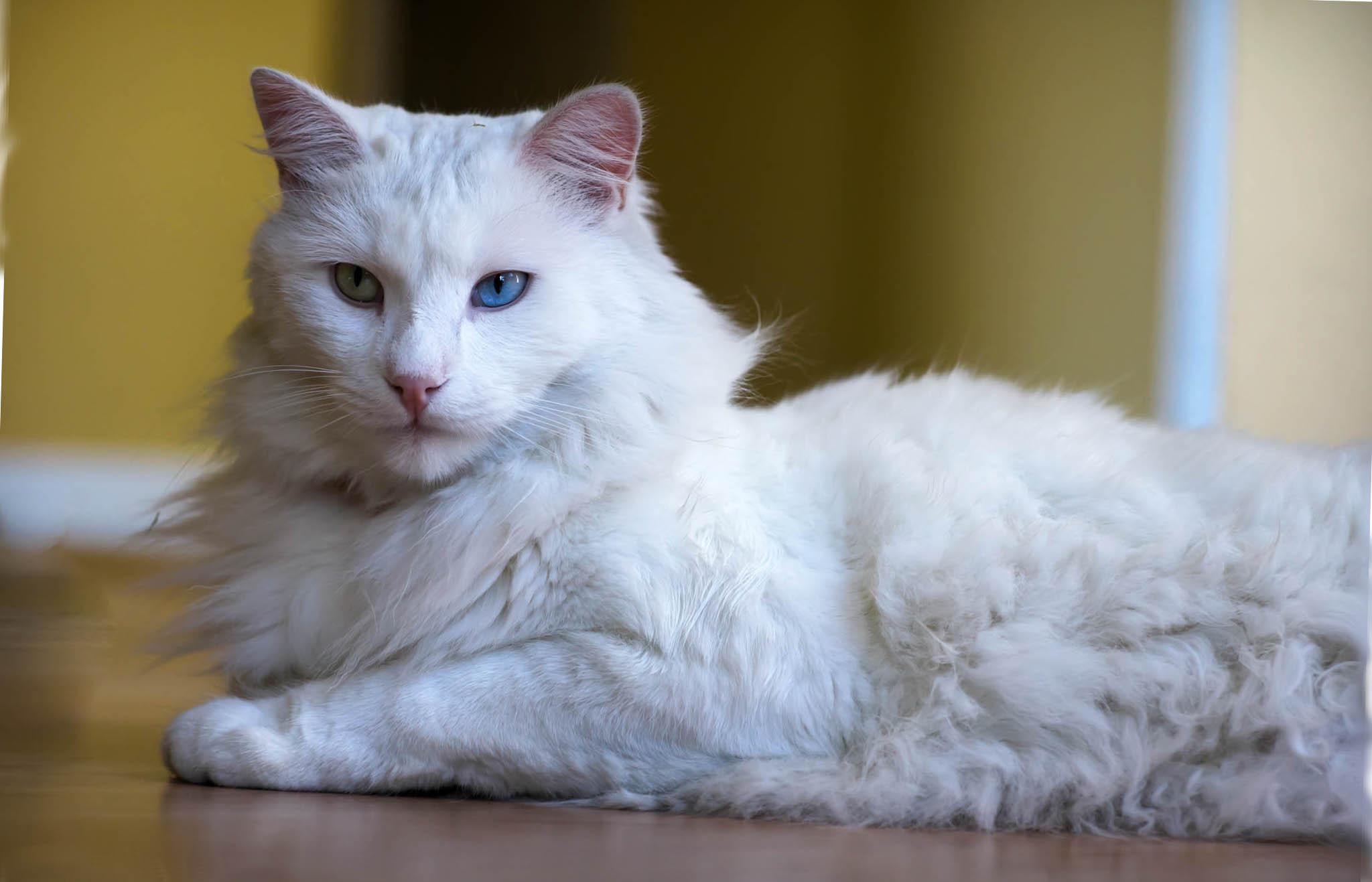 Турецкая ангорская кошка