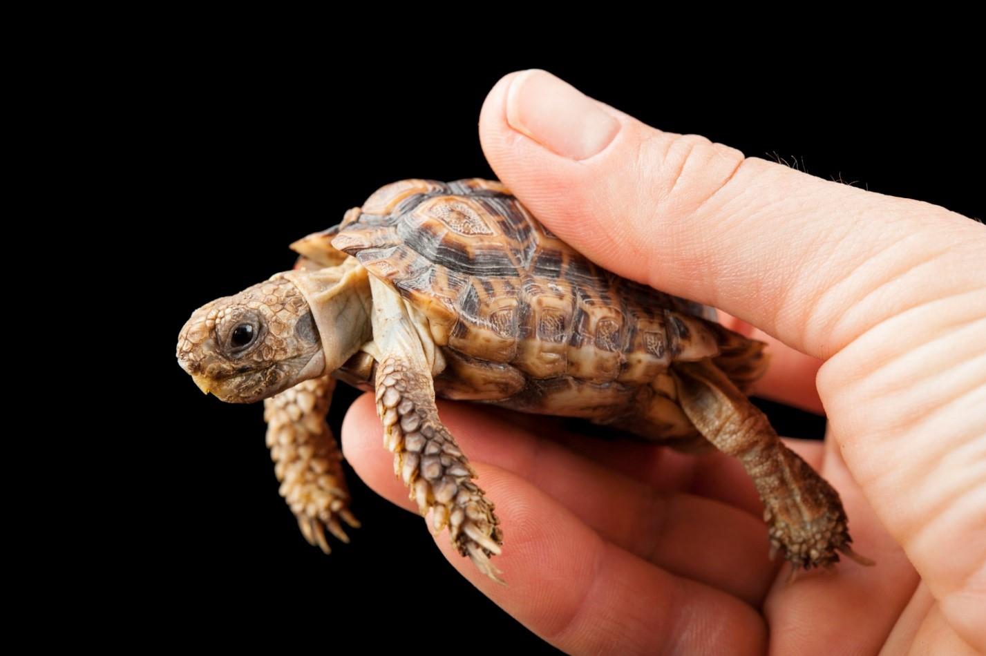 Пестрая черепаха