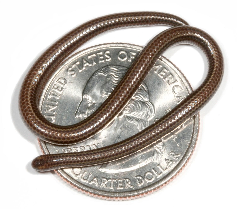 Самая маленькая змея