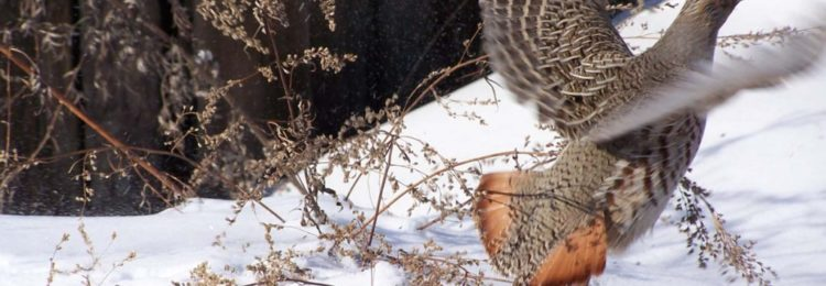 Куропатка на снегу
