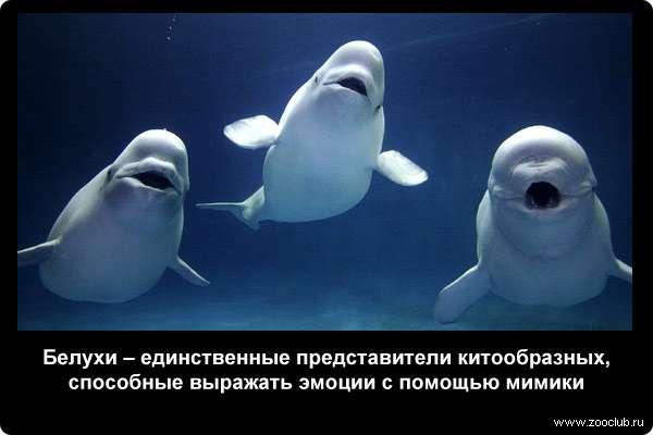 белые дельфины белуха