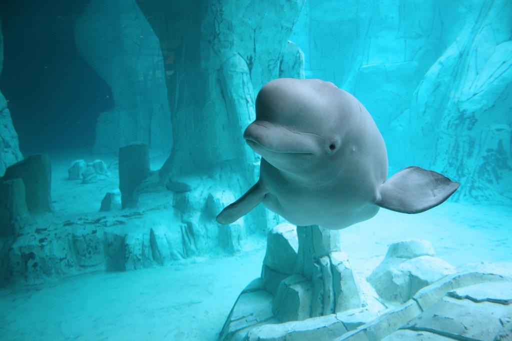 дельфин белуха