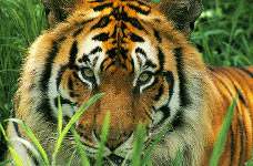 азиатские тигры страны
