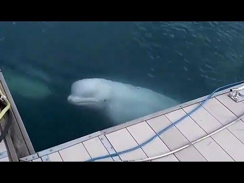 кит белуха фото