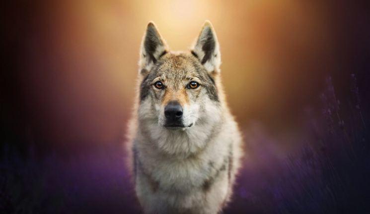 волкособака