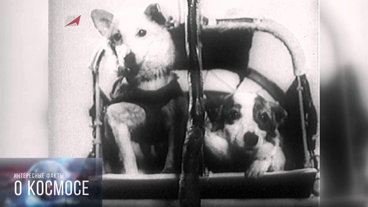 отважная собака космонавт