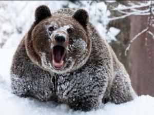 Охота на медведя облавой