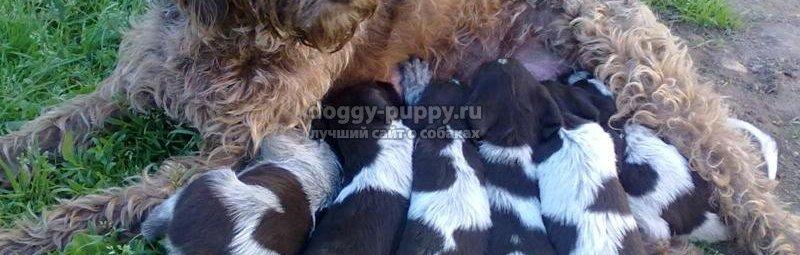 Щенки — Как выбрать щенка дратхаара.  Уход и дрессировка. Фото щенков.