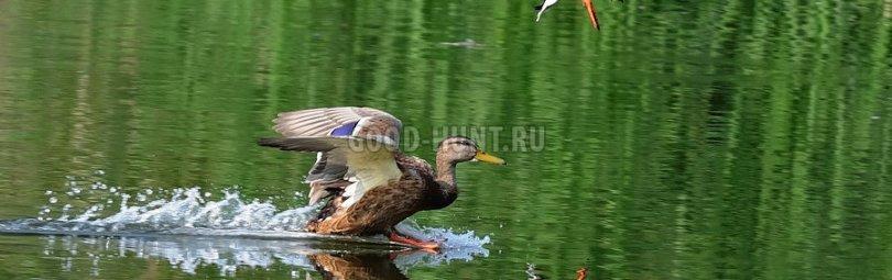 «Охота на уток осенью » — смотреть видео онлайн