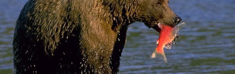 Охота на бурого медведя на Аляске