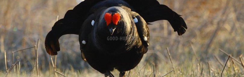 «Весенняя охота на тетерева» смотреть видео онлайн