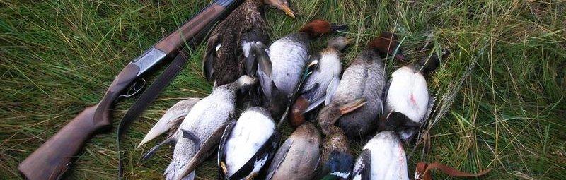 Охота на утку на перелетах