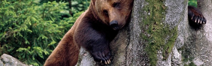 «Охота на медведя на приваде» смотреть видео онлайн