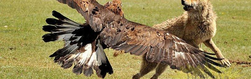 «Охота на волка с беркутом» смотреть видео онлайн