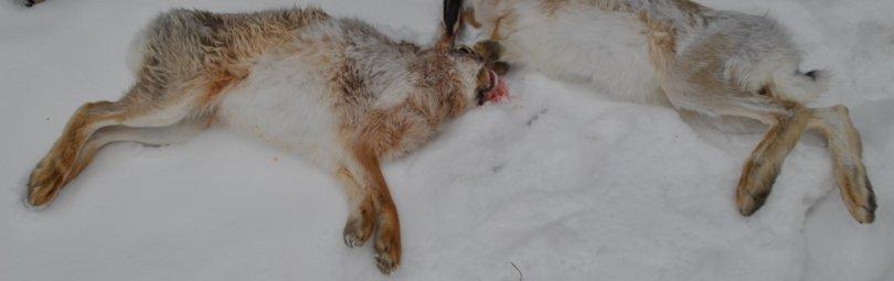 Охота на зайца с подхода смотреть видео онлайн