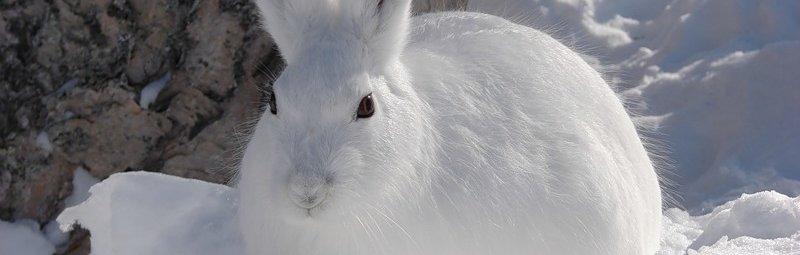 Охотничий рассказ «Заяц беляк»