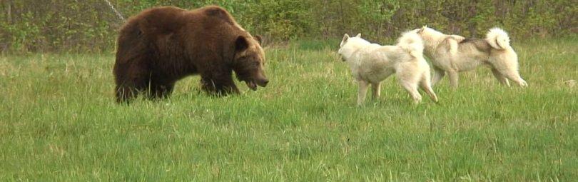 Охота на медведя с собаками
